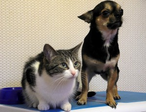 Cirugia de esterilización en perros y gatos